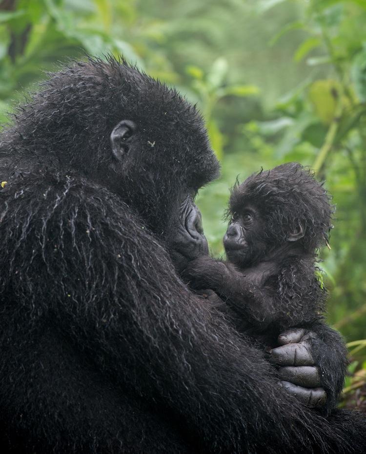 Gorila de montaña observando a su bebé