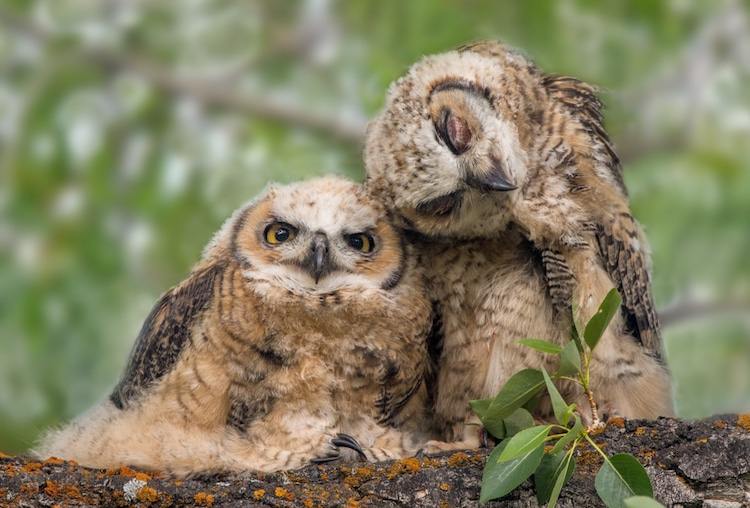 Great Horned Owlets Cuddling