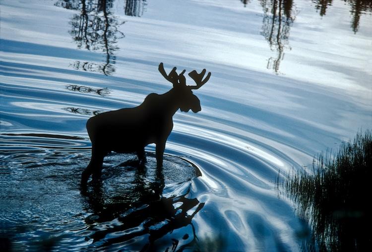 Bull Moose Ripples