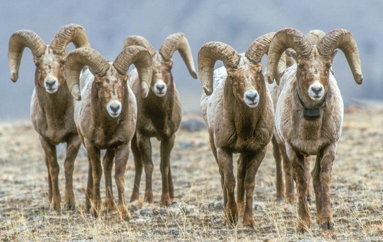 Five Bighorn Rams