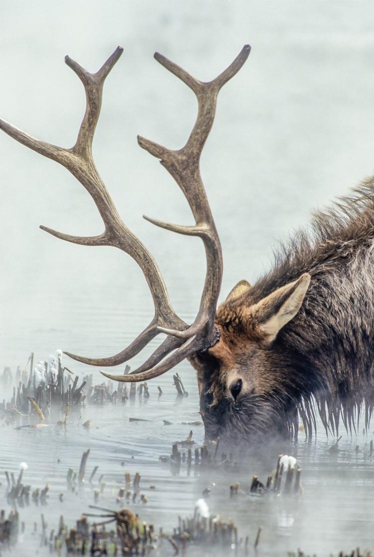 Bull Elk During the Winter