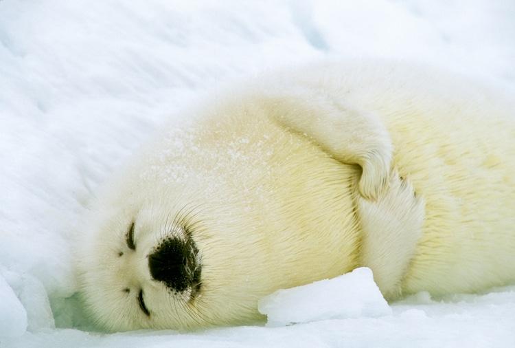 Foca pía durmiendo sobre el hielo