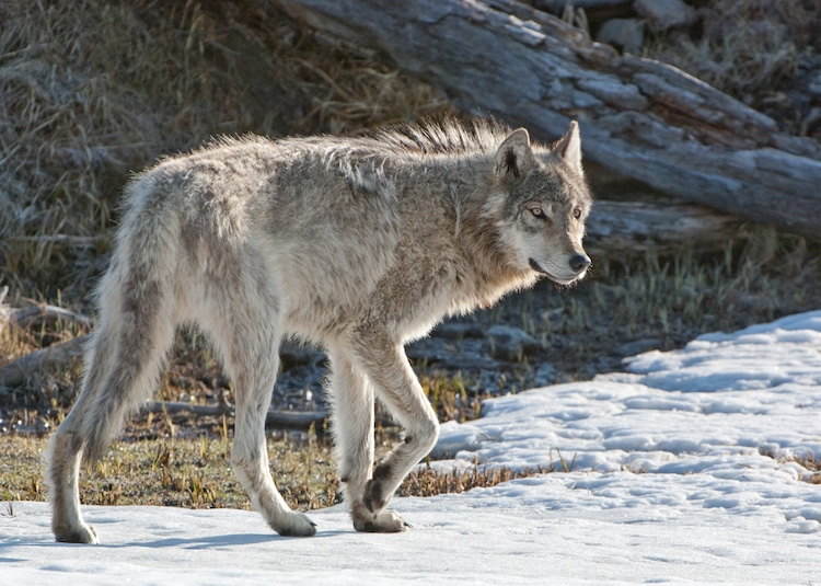 Photo of a Wolf Walking