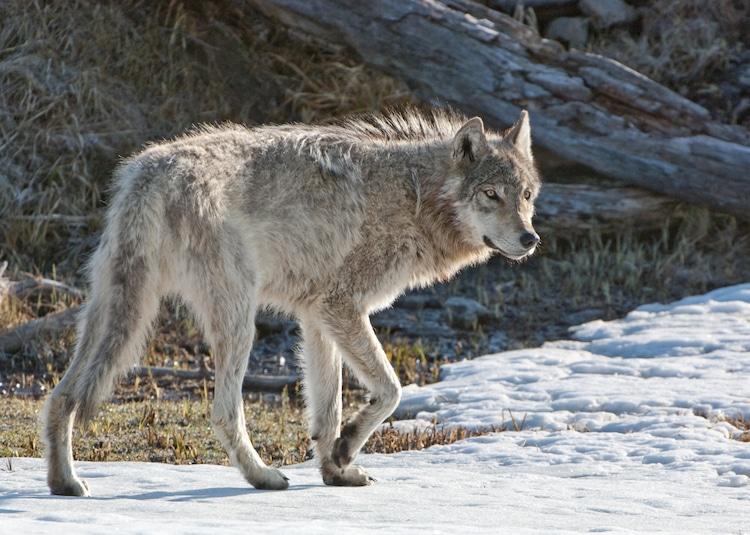 Foto de lobo caminando