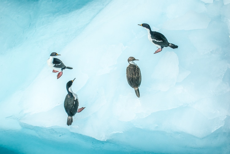 Wildlife Antarctic Waterfowl