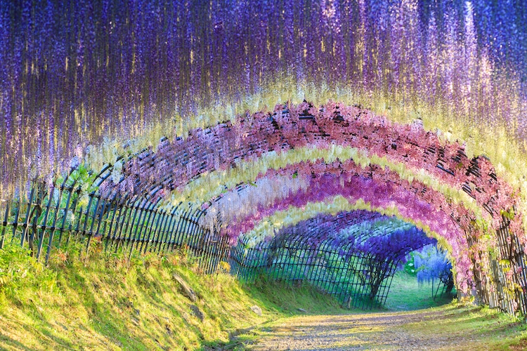 10 Gorgeous Wisteria Tree Tunnels You Can Only Find In Japan