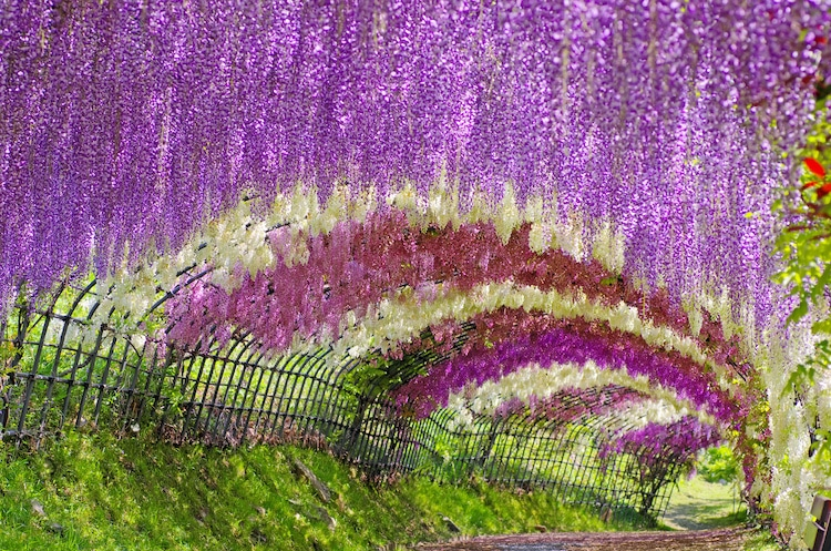 Nature Tunnel of Wisteria Tree