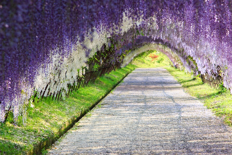 Wisteria Tunnels in Japan