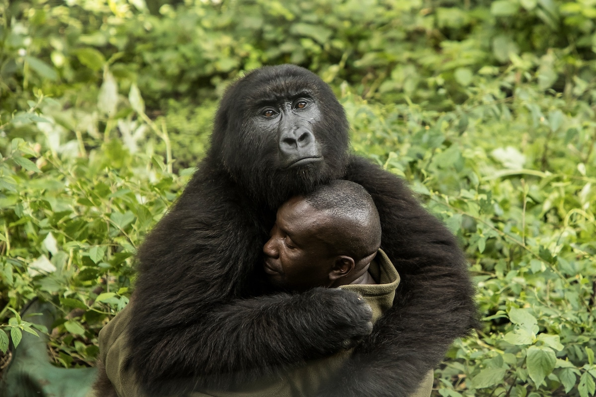 Gorilla and Caretaker Embracing