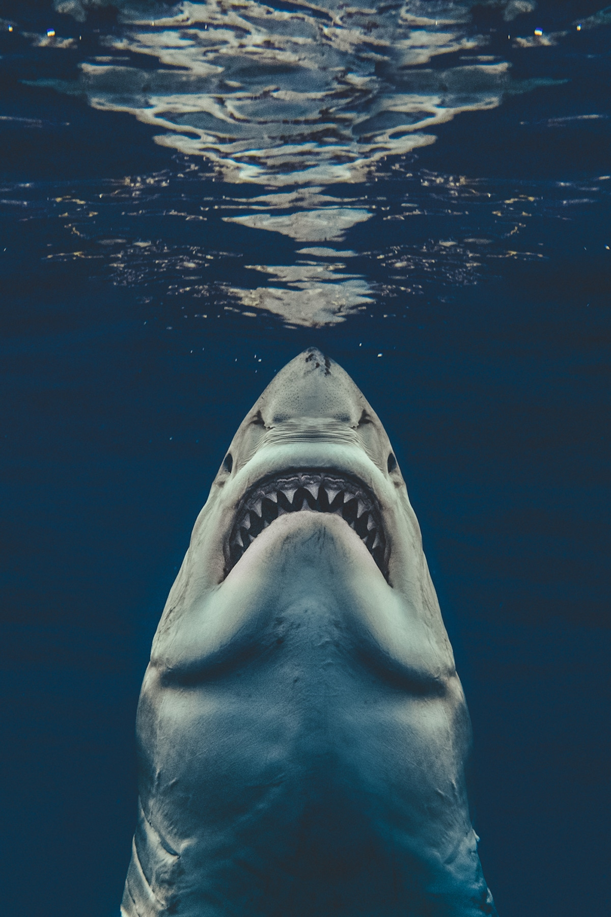 Brave Photographer Recreated 'Jaws' Poster with Real Great White Shark