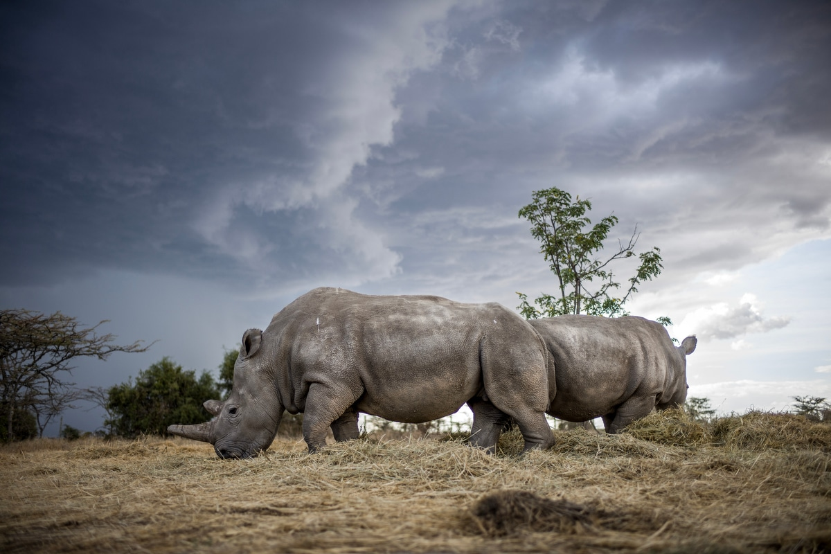 Last Female Northern White Rhinos at Ol Pejeta Conservancy in Kenya