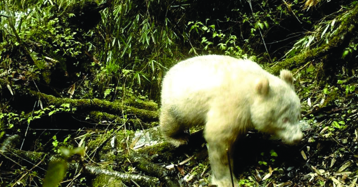 Rare All-White Albino Panda Spotted in Chinese National Park