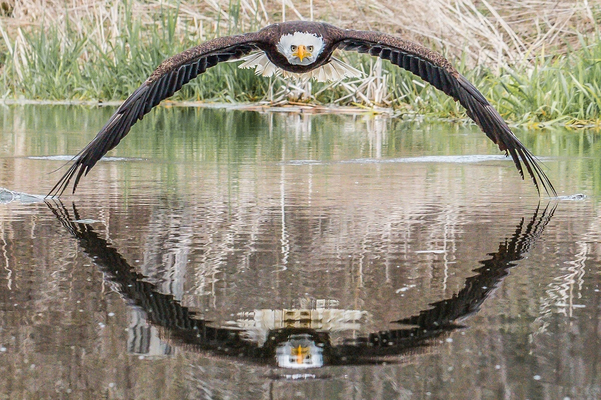 Bald Eagle Reflection by Steve Biro