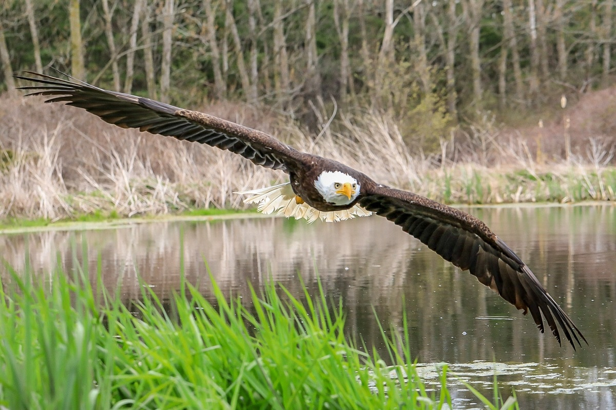 Bald Eagle Flying by Steve Biro