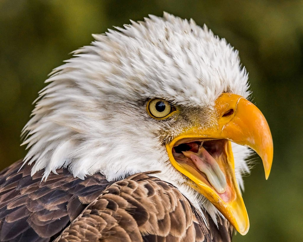 Bald Eagle Portrait by Steve Biro