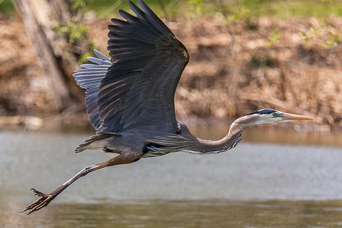 Flying Heron by Steve Biro