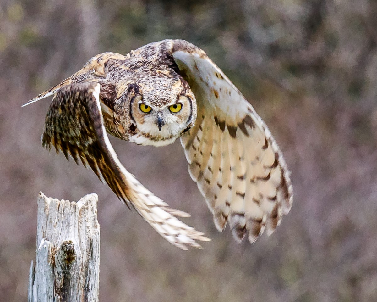 Flying Owl Photo by Steve Biro