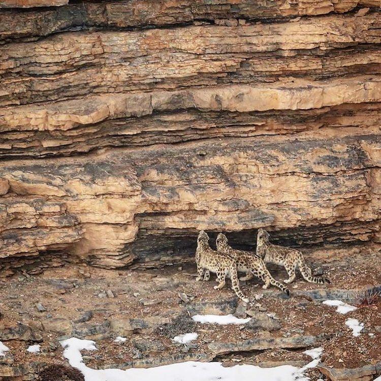 Snow Leopard in the Wild by Saurabh Desai