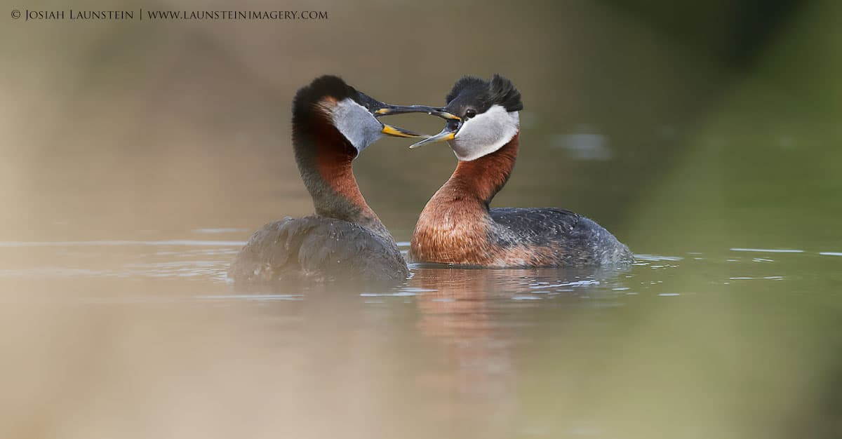 Red-Necked Grebes by Josiah Launstein