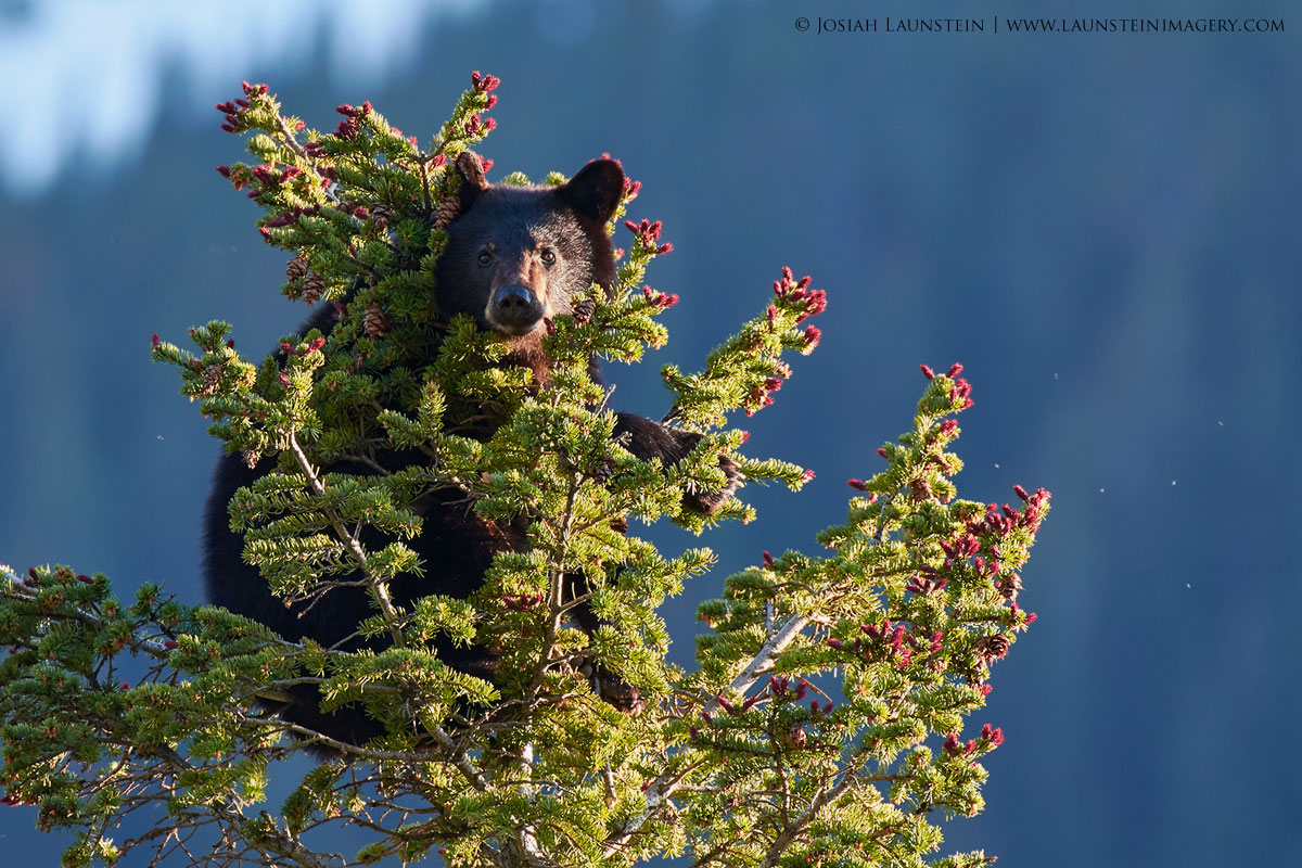 Black Bear Cub in a Tree by Josiah Launstein