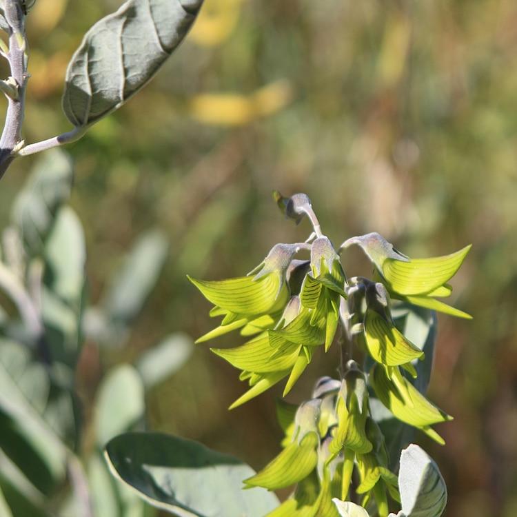 Crotalaria cunninghamii - Regal Flowerbird
