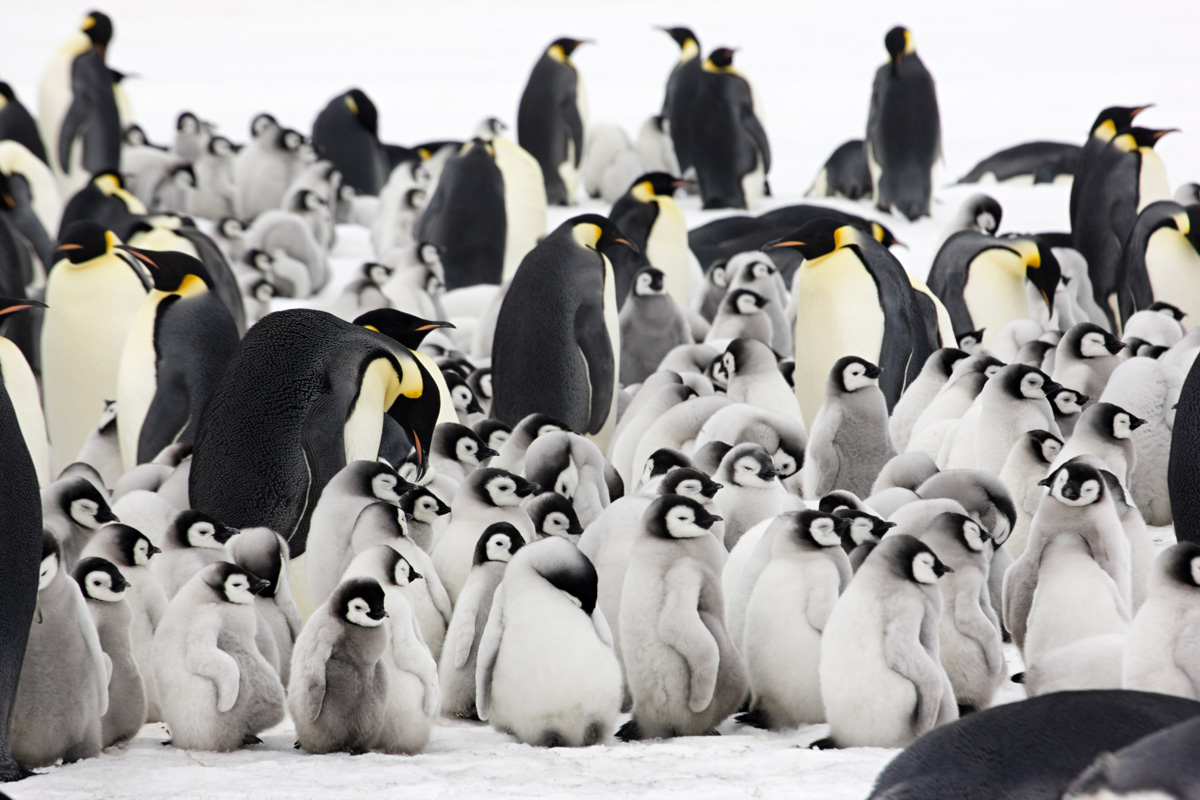 Emperor Penguin Picture by Sue Flood