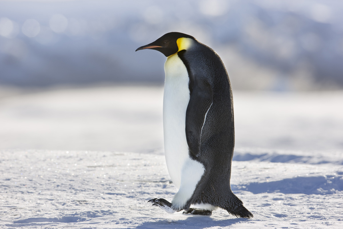 Penguin Photography by Sue Flood