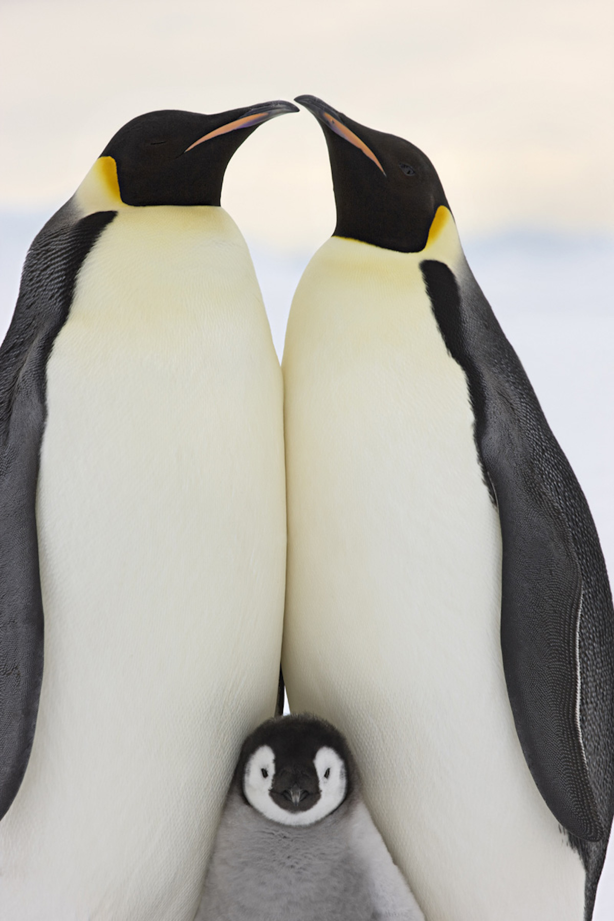 Emperor Penguin and Chick by Sue Flood