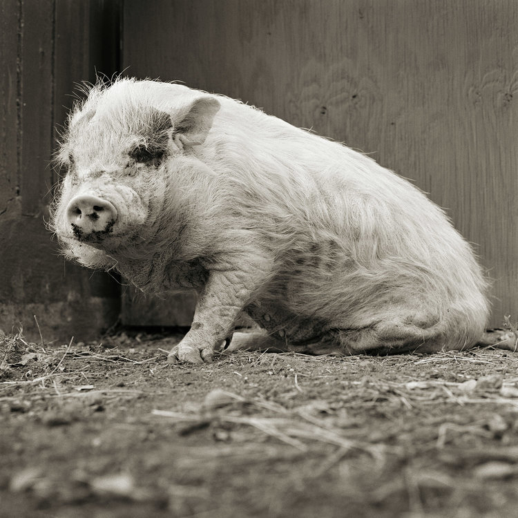 Farm Animal Photos by Isa Leshko
