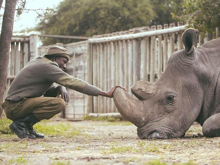 Northern White Rhino Caretaker