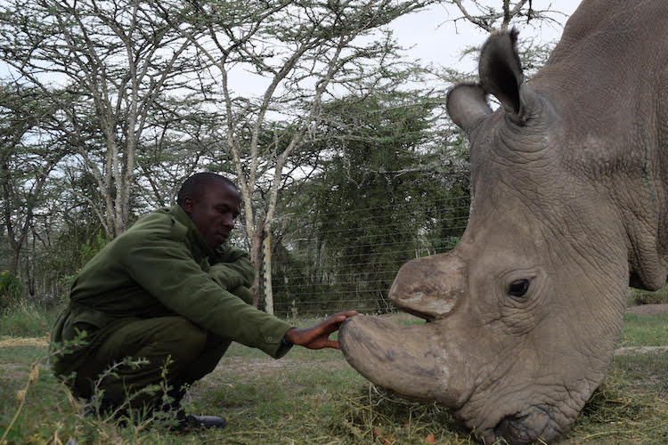 Northern White Rhino Keeper