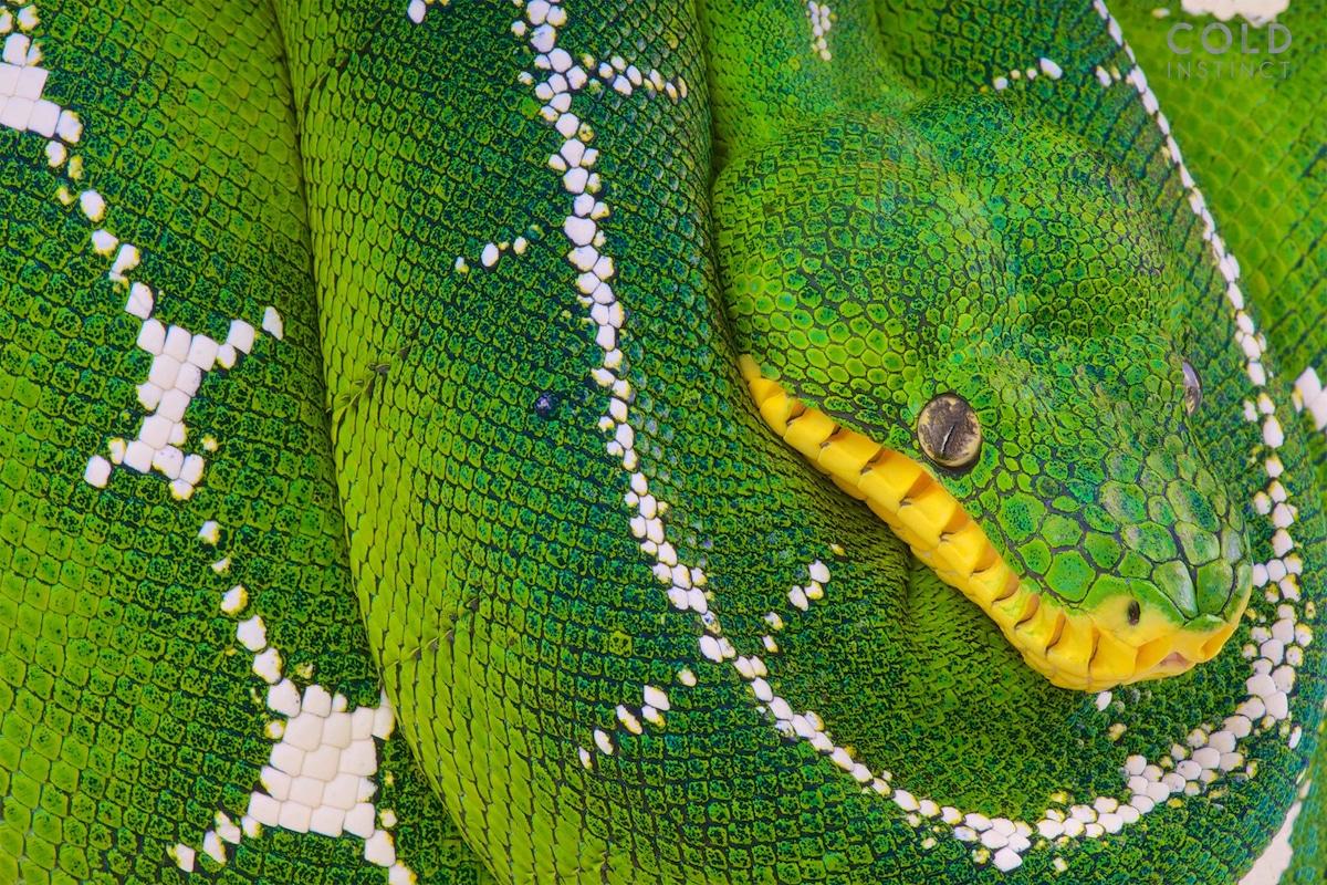 boa esmeralda - anfibios y reptiles animales de sangre fría