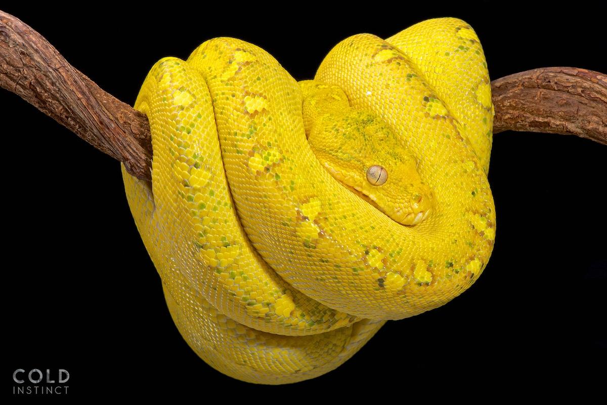 pitón verde amarilla - anfibios y reptiles animales de sangre fría