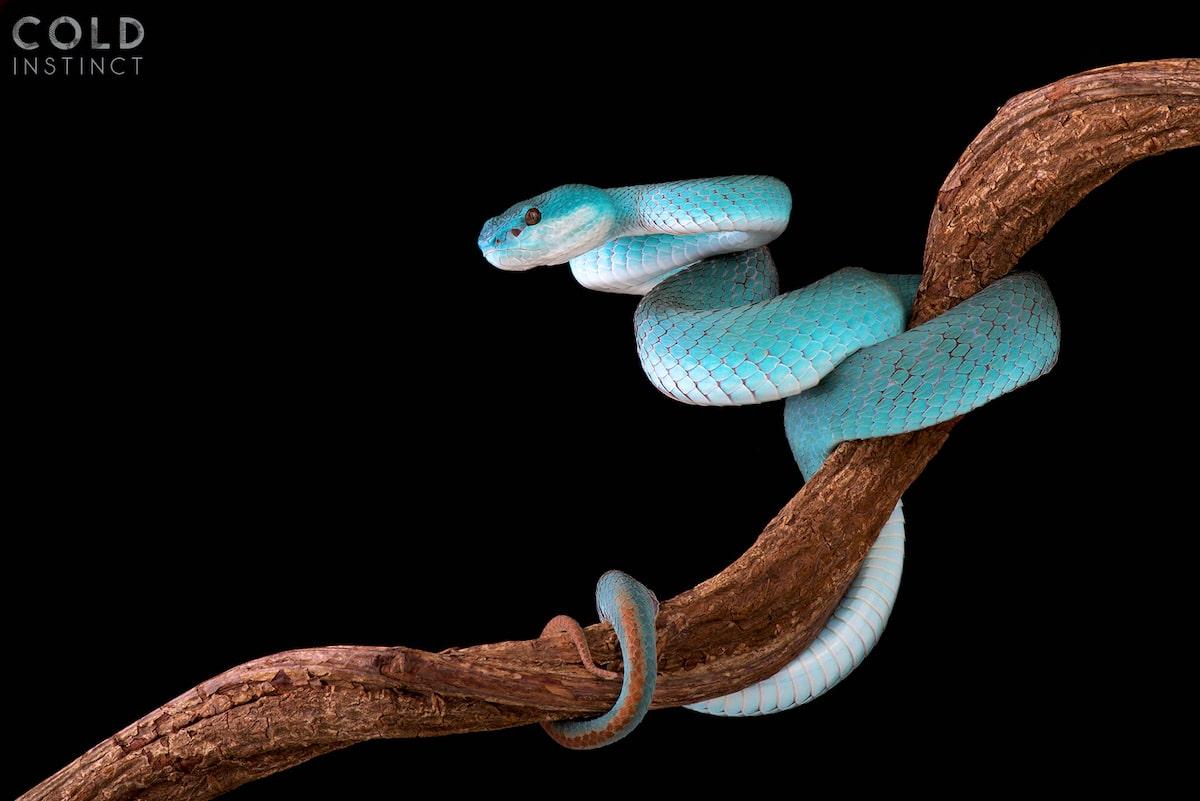 serpiente azul - anfibios y reptiles animales de sangre fría