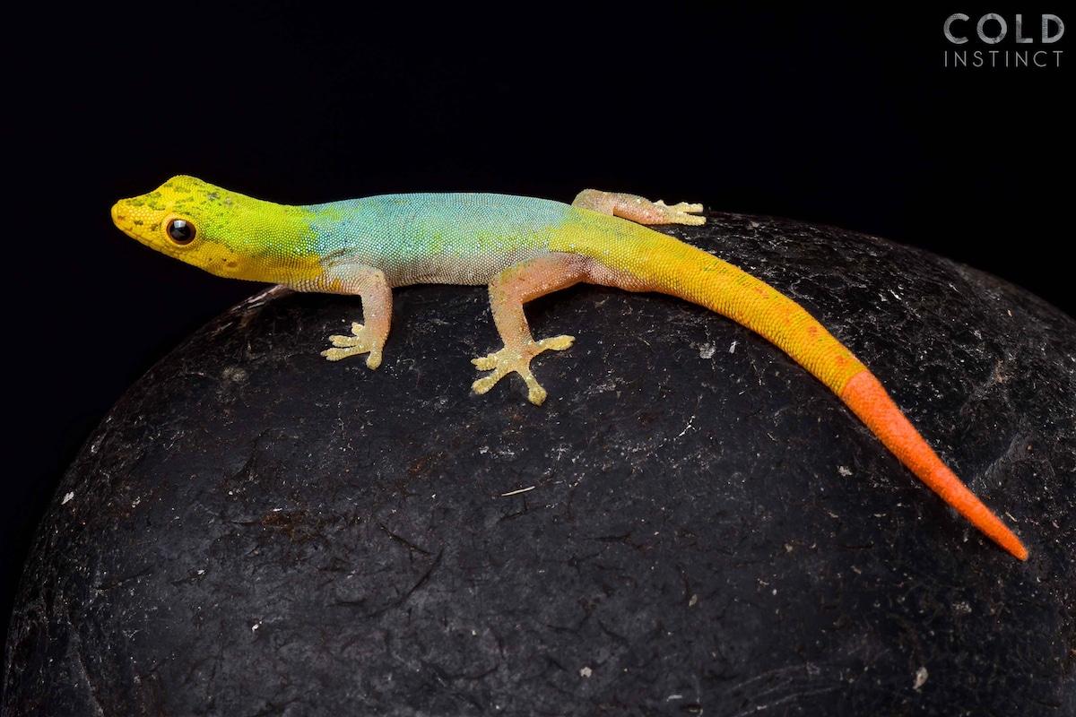 gecko enano camerún anfibios y reptiles animales de sangre fría