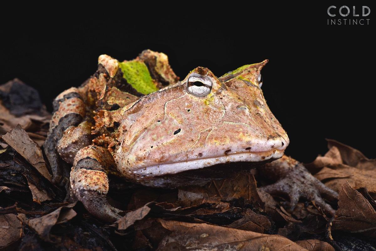 escuerzo amazonas (Ceratophrys cornuta) - anfibios y reptiles animales de sangre fría