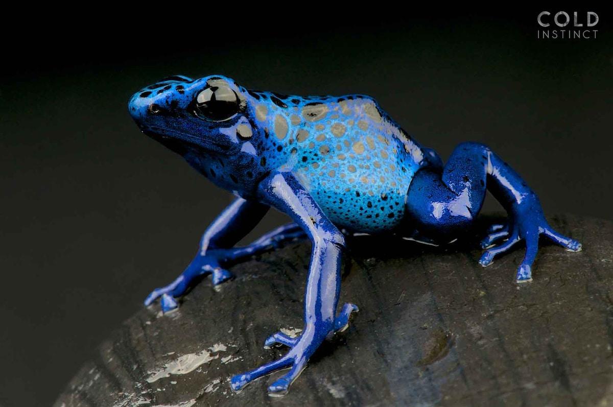 rana flecha azul - anfibios y reptiles animales de sangre fría
