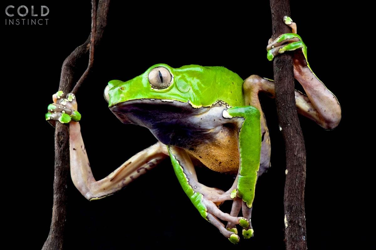 rana mono grande - anfibios y reptiles animales de sangre fría