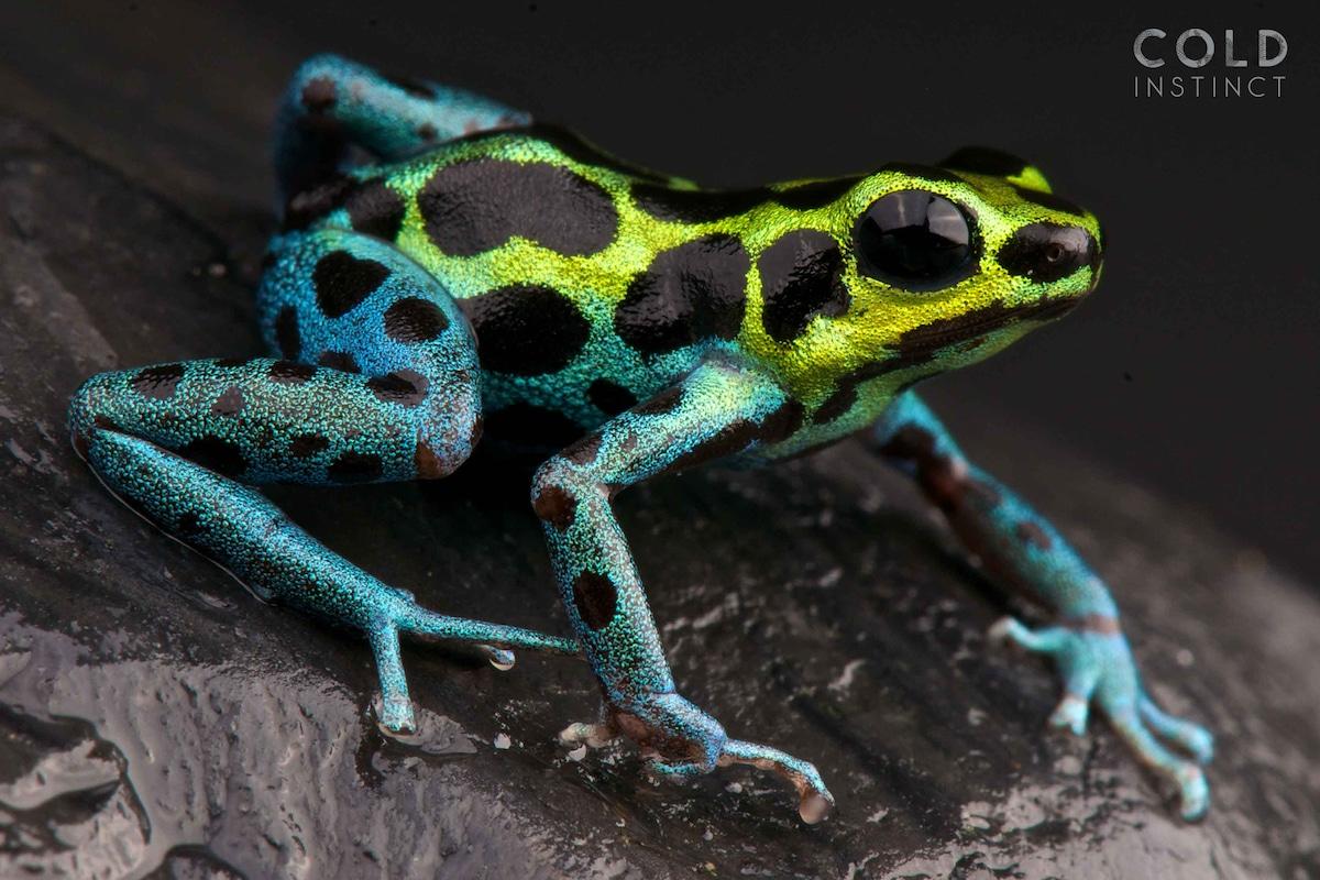 Ranitomeya veriablis, Spotted dart frog,Peru