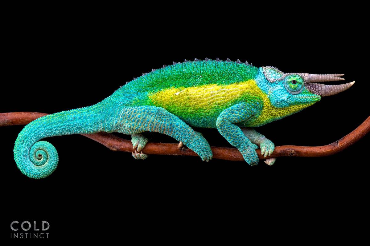 Jackson's horned chameleon