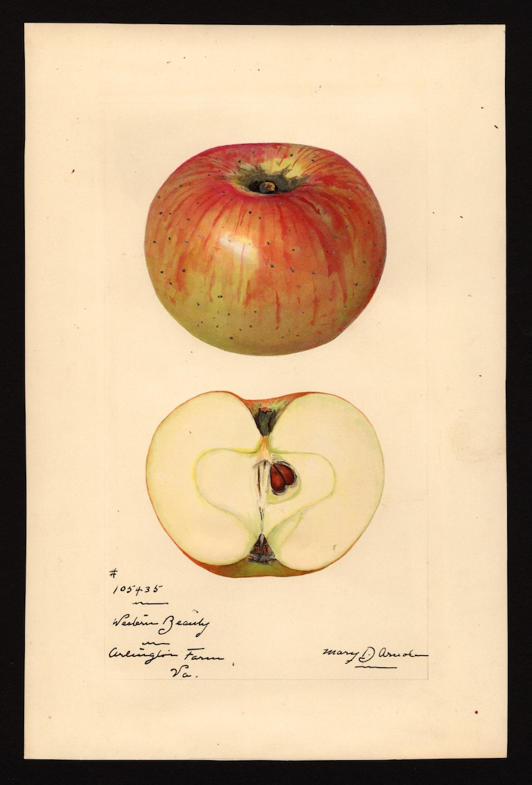 acuarelas pomológicas pinturas de frutas