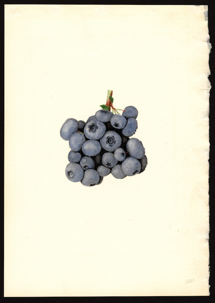 USDA Pomological Watercolors of Fruit