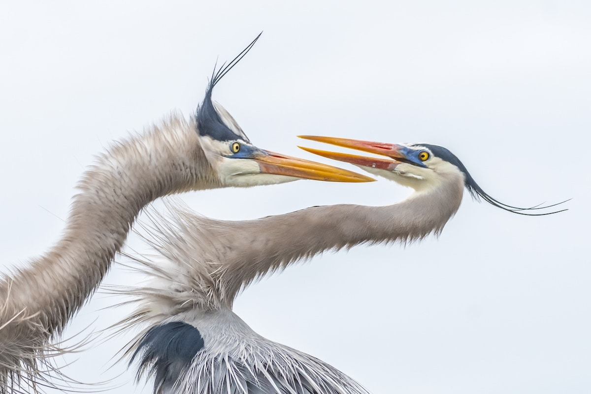 Photo of Two Great Blue Herons