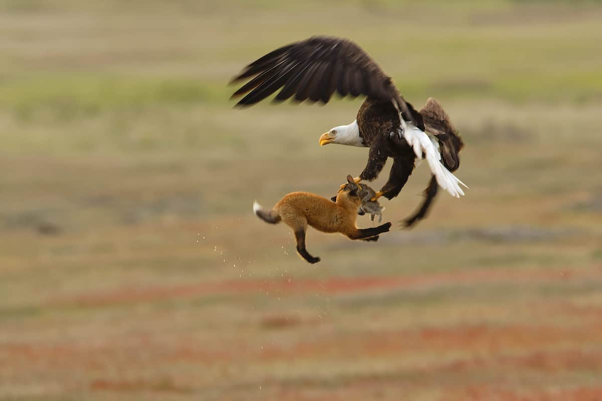 Bald Eagle and Red Fox Tussling Over Rabbit, San Juan Island National Historical Park, Washington