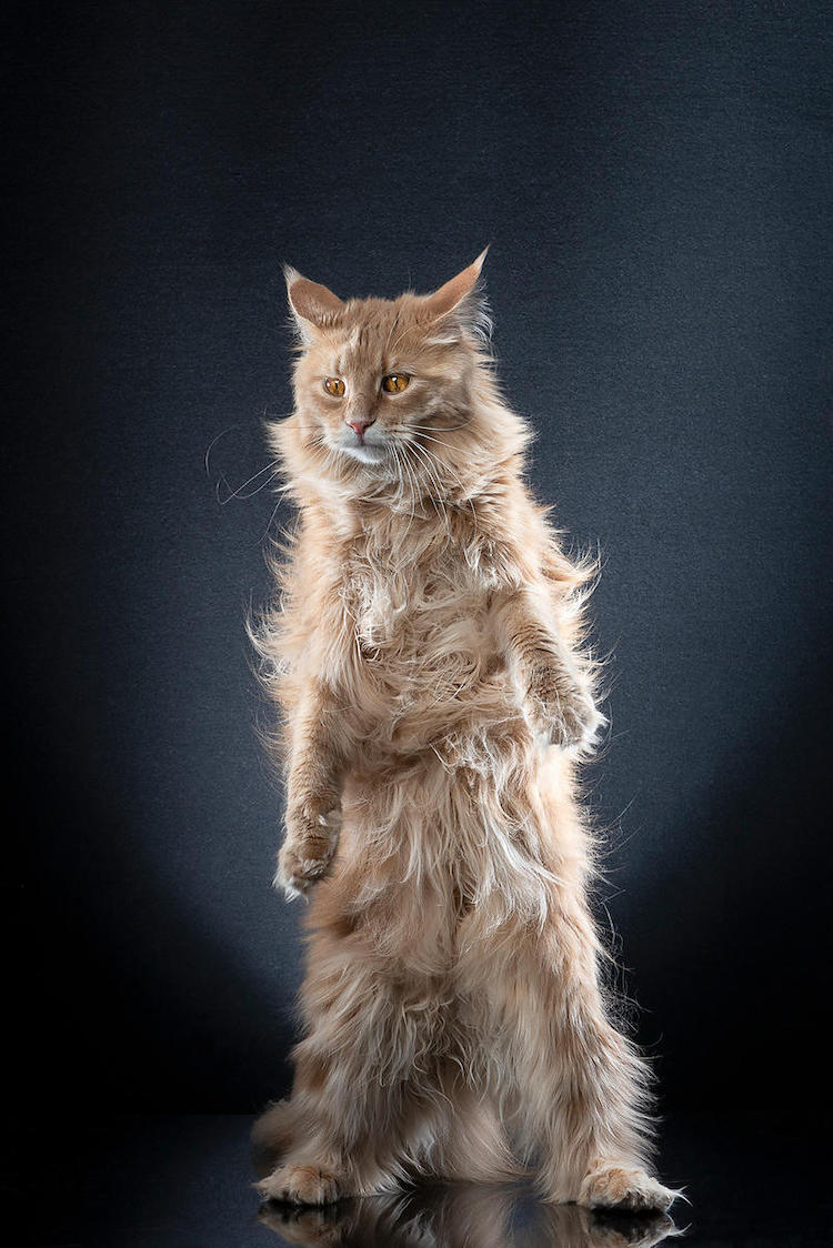 Pictures of Cats Standing Up