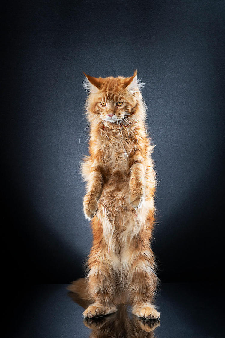 Cats Standing Up by Alexis Reynaud