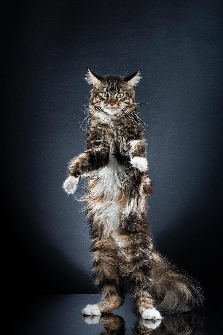 Gato en dos patas