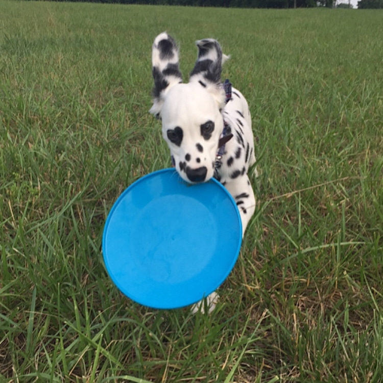 Dalmatian with Heart Spots