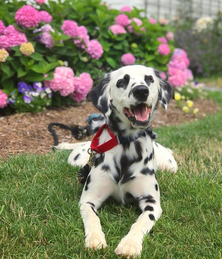 Dalmatian with Heart Eyes