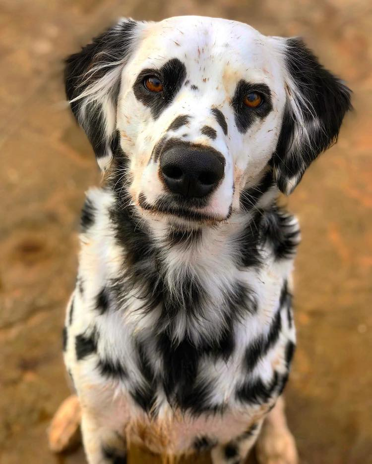 Charlie the Dalmatian with Heart Eyes